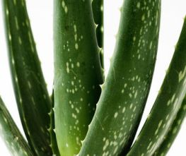 The Medicinal Effects Of The Aloe Vera Plant Gardening