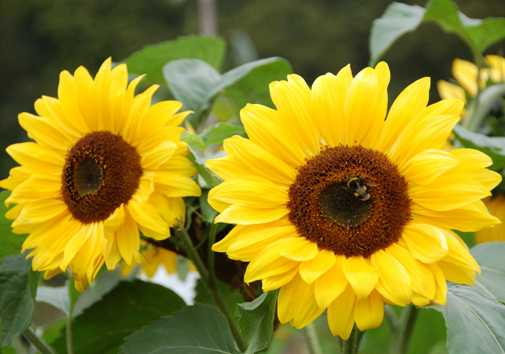 growing sunflower plant