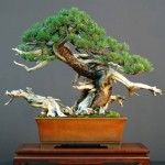 bonsai plants 11