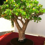 bonsai plants 13