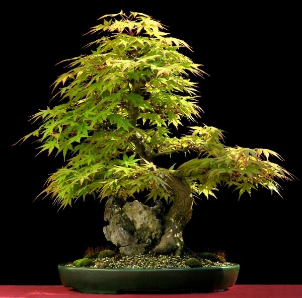 30-Awe-Inspiring-Outdoor-Bonsai-Plants