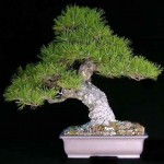 bonsai plants 16