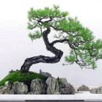 bonsai plants 18