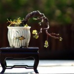 bonsai plants 2