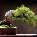 bonsai plants 20