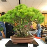 bonsai plants 24