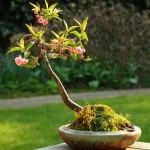 bonsai plants 26