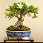 bonsai plants 27
