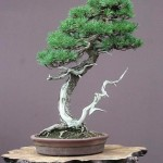 bonsai plants 30