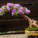 bonsai plants 6