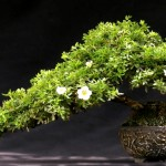 bonsai plants 7