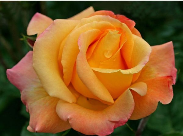 35 Breathtaking Rose Pics