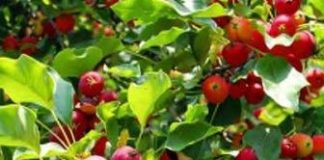 Best Fruit Trees To Grow In A Small Garden