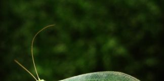 green lacewings