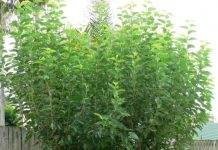 tips on growing and caring for mulberry tree