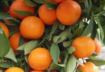taking care of citrus fruit plans