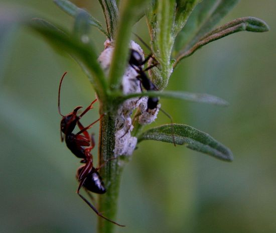 ways deal with ants in your vegetable garden