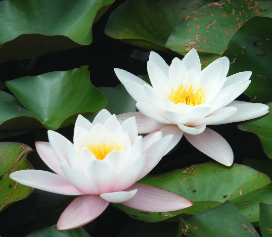 Ways to grow lotus flowers in your garden area easy ways to grow lotus flowers in your garden area mightylinksfo