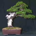bonsai plants 17