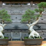 bonsai plants 19