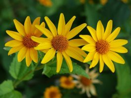 27 Beautiful Perennial Flowers that suits your garden