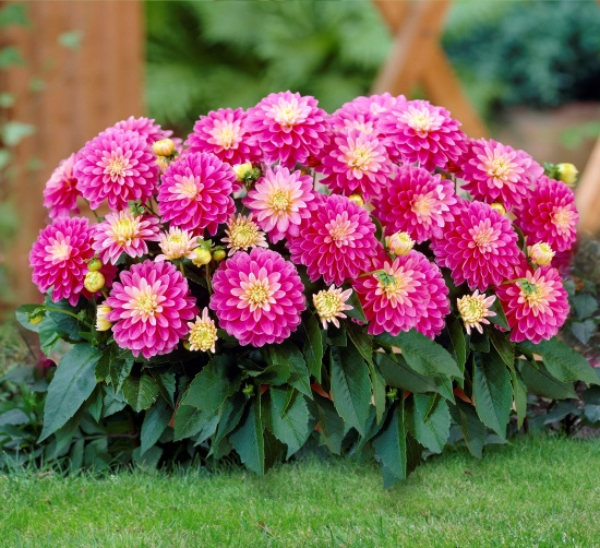 All About Growing And Caring For Dahlias
