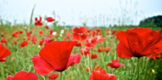 tips that can help you with growing poppies