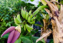 effective ways and tips to grow bananas
