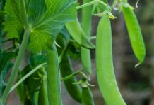 effective tips for growing peas