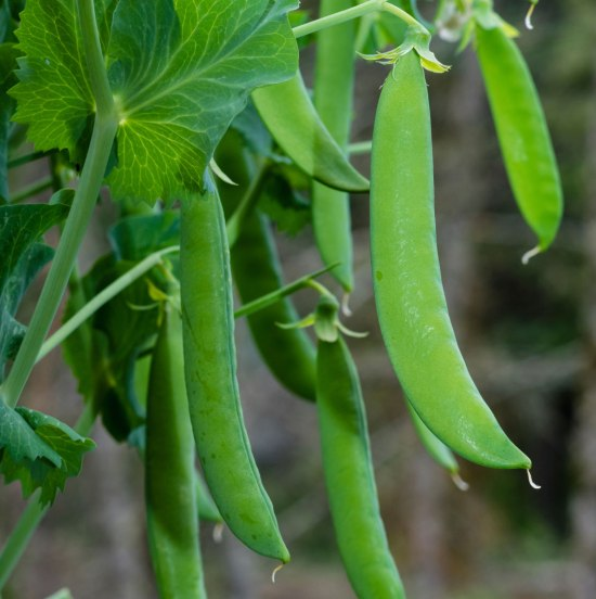 Growing Garden Peas: Early Spring Veggies You Should Start Planting