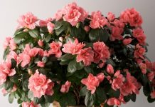 tips for growing indoor azaleas