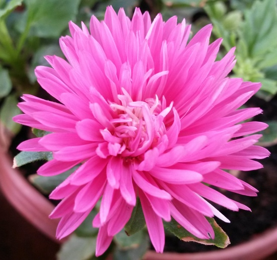 Aster Flower Growing Tips And Techniques Growing Asters