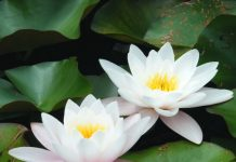 easy ways to grow lotus flowers in your garden area